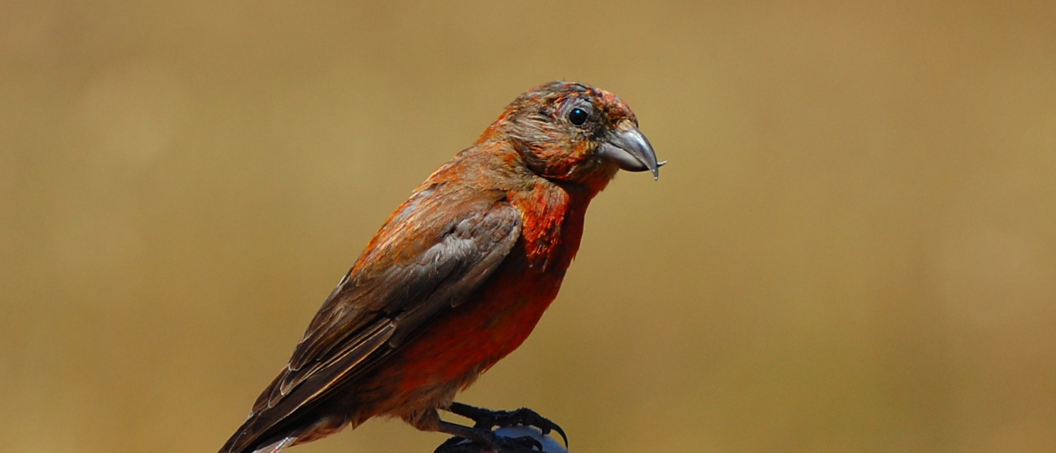 red crossbill release June 2014 - 2
