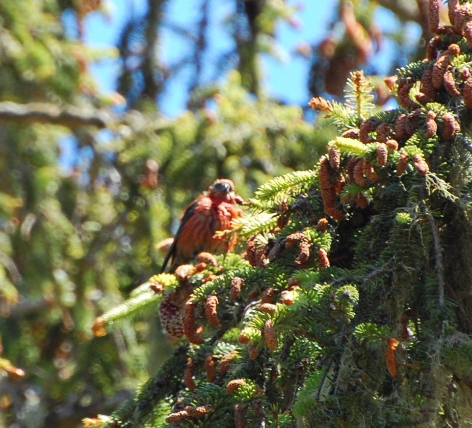 red crossbill release June 2014 - 4