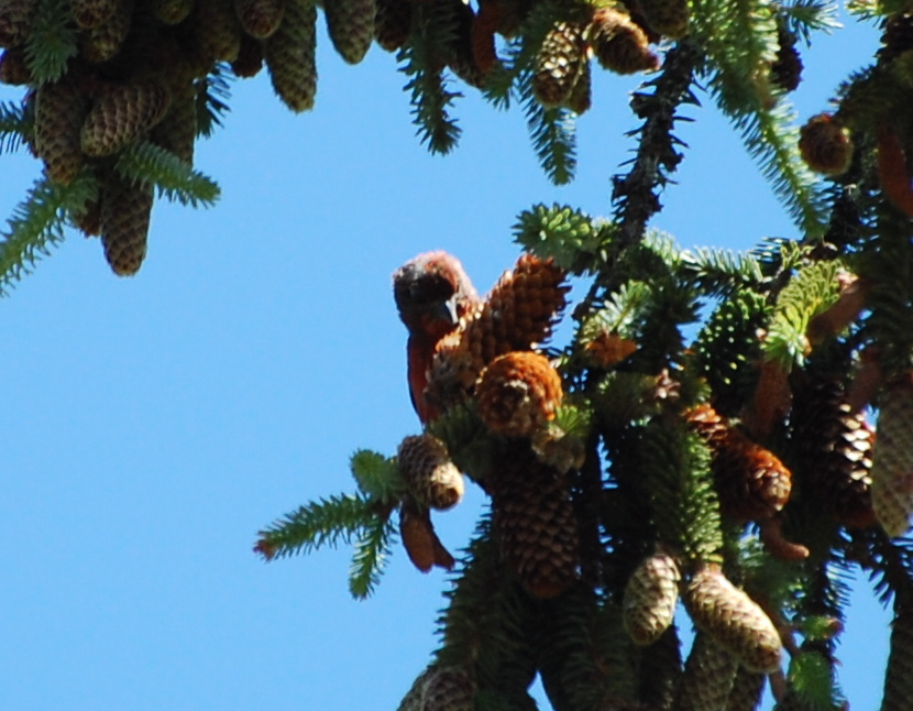red crossbill release June 2014 - 7