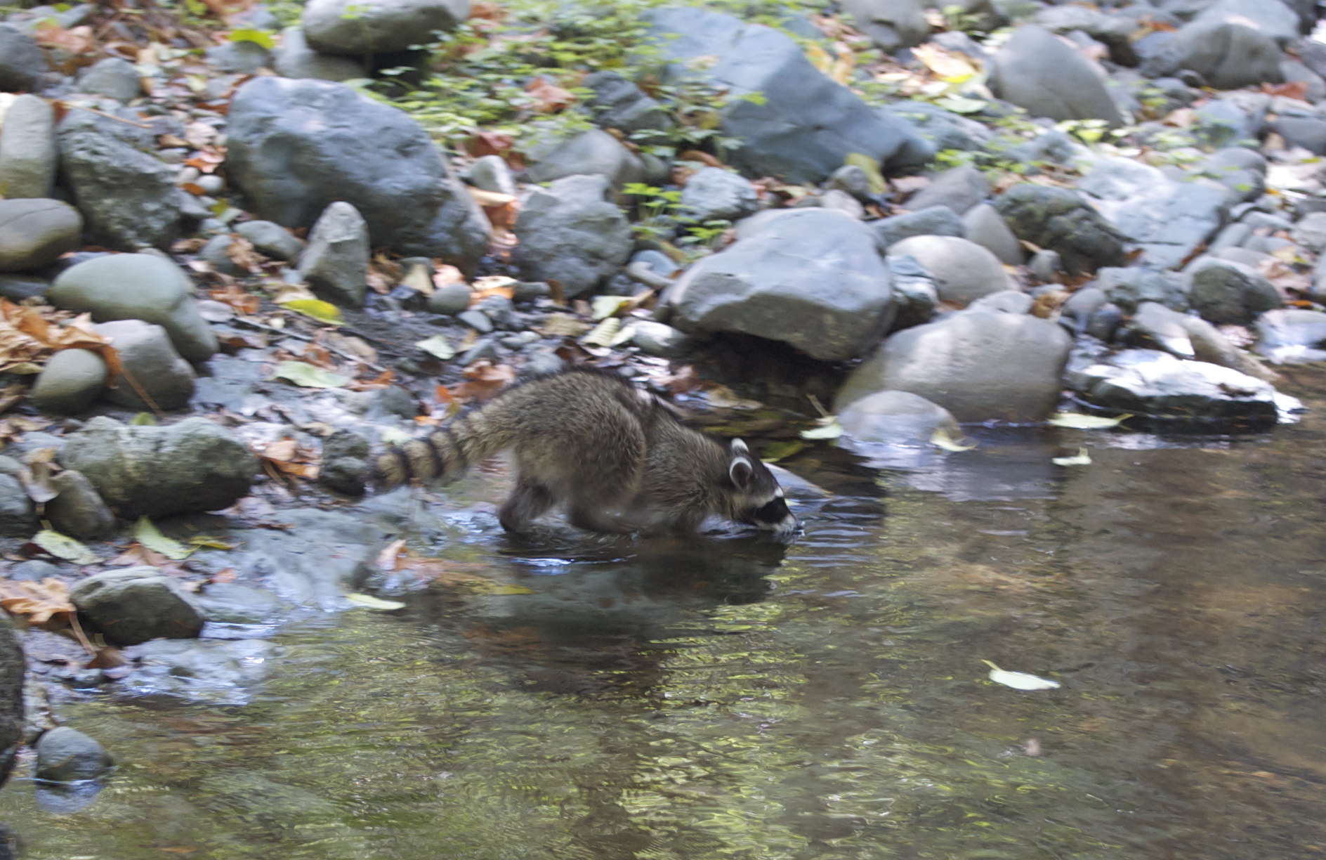 first raccoon release 2014 - 036