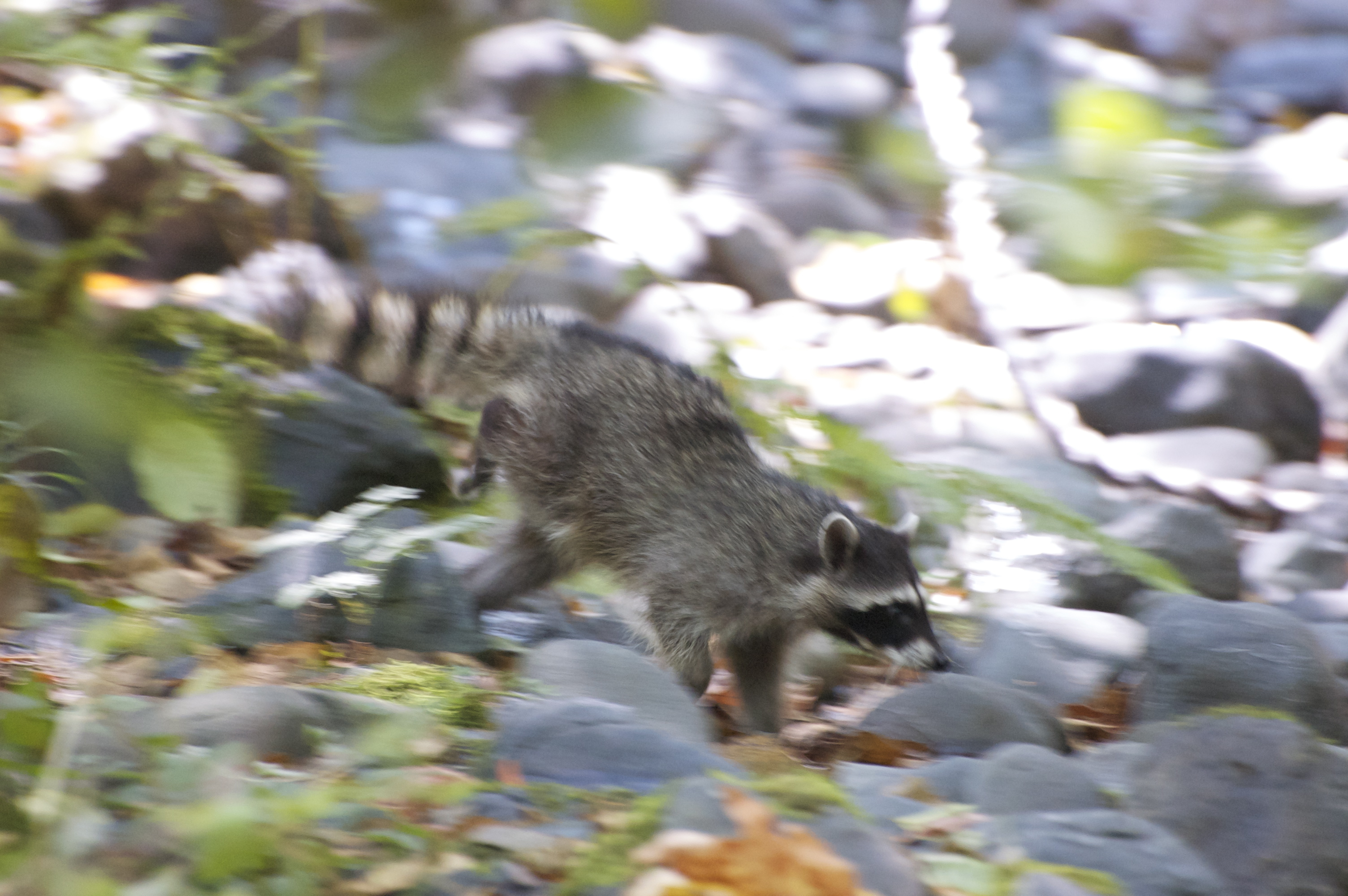 first raccoon release 2014 - 060