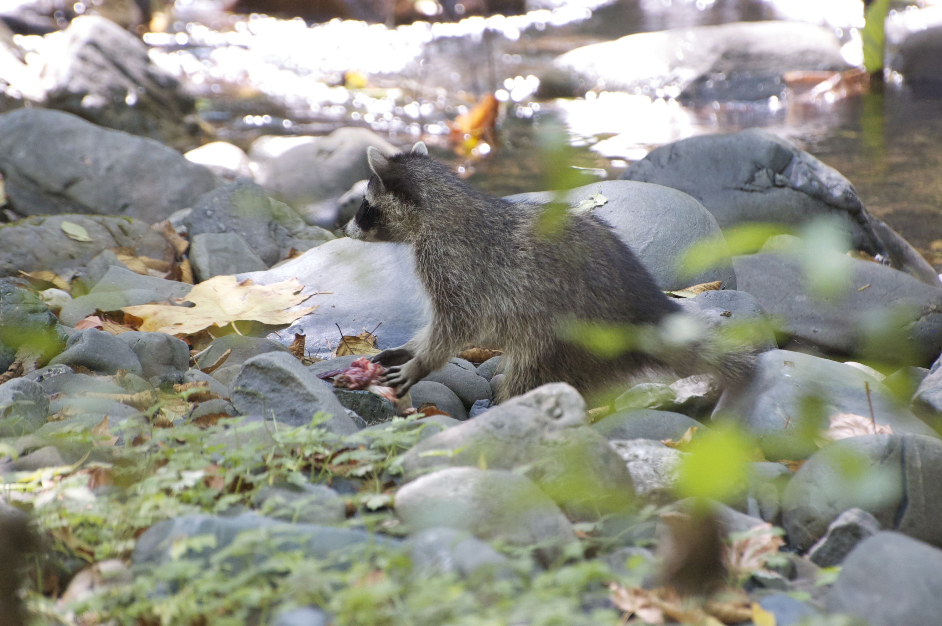 first raccoon release 2014 - 070