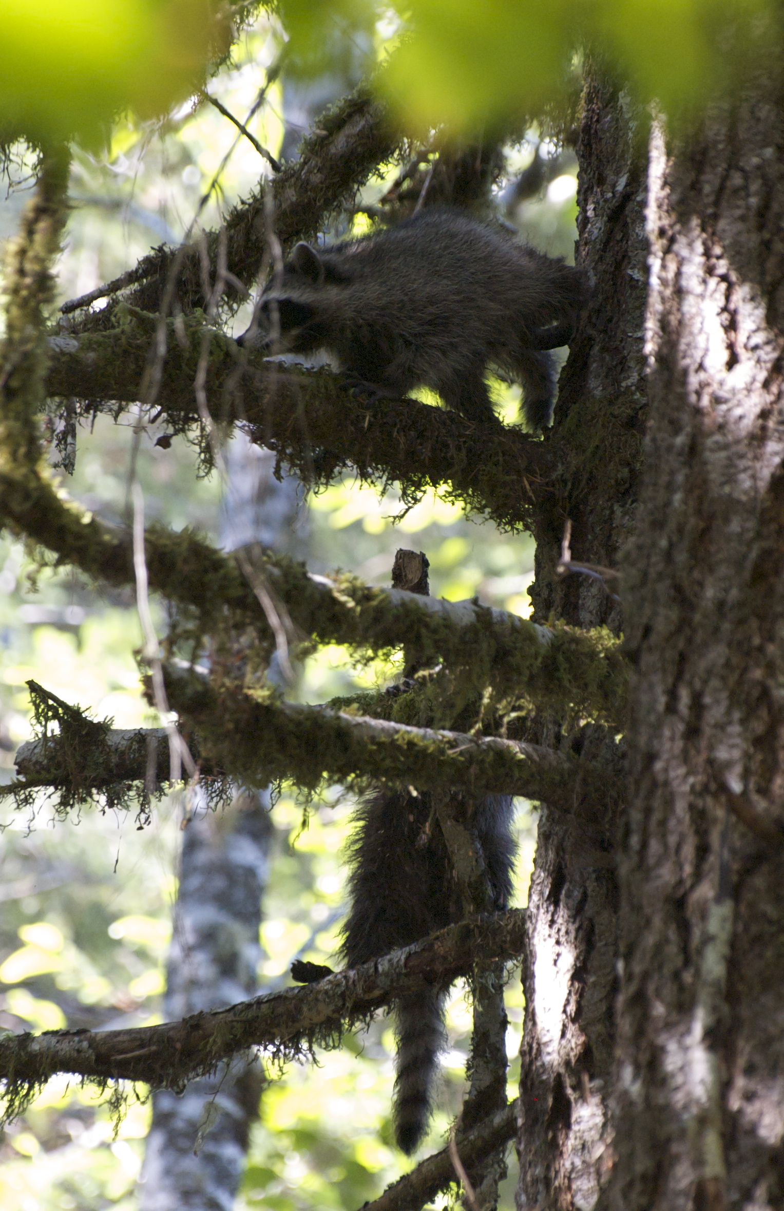 first raccoon release 2014 - 078