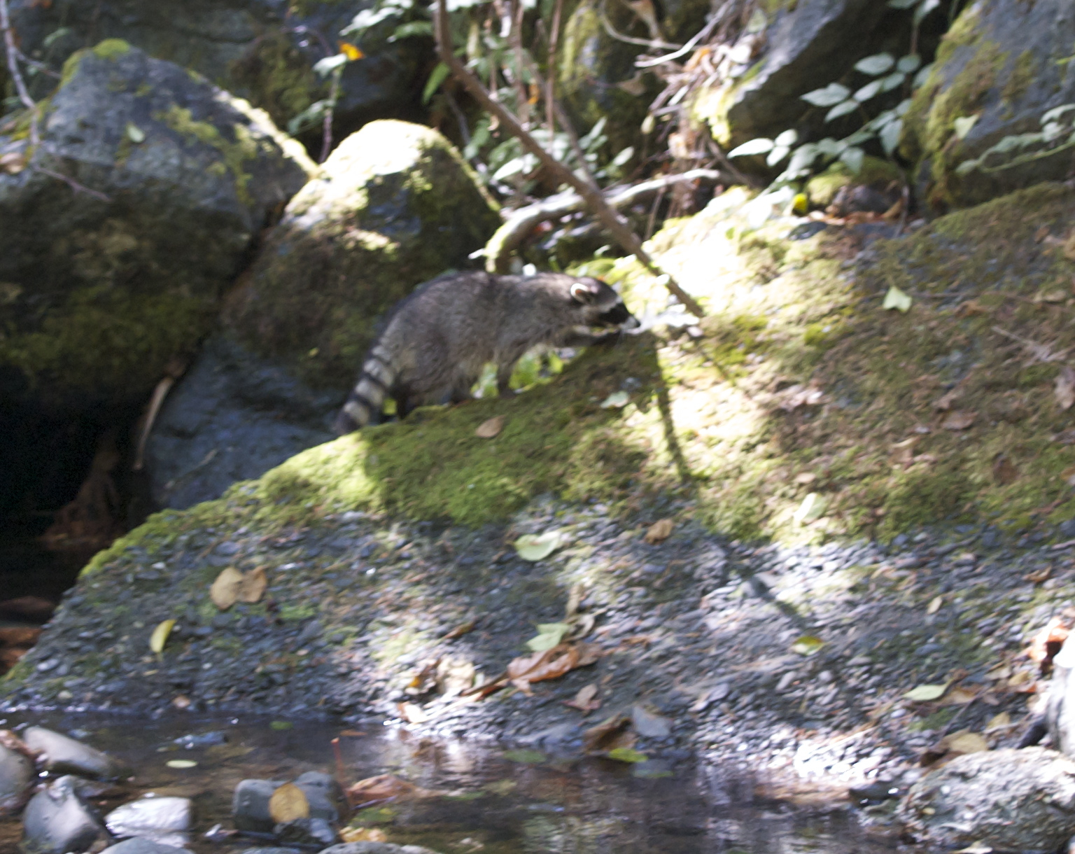 first raccoon release 2014 - 080