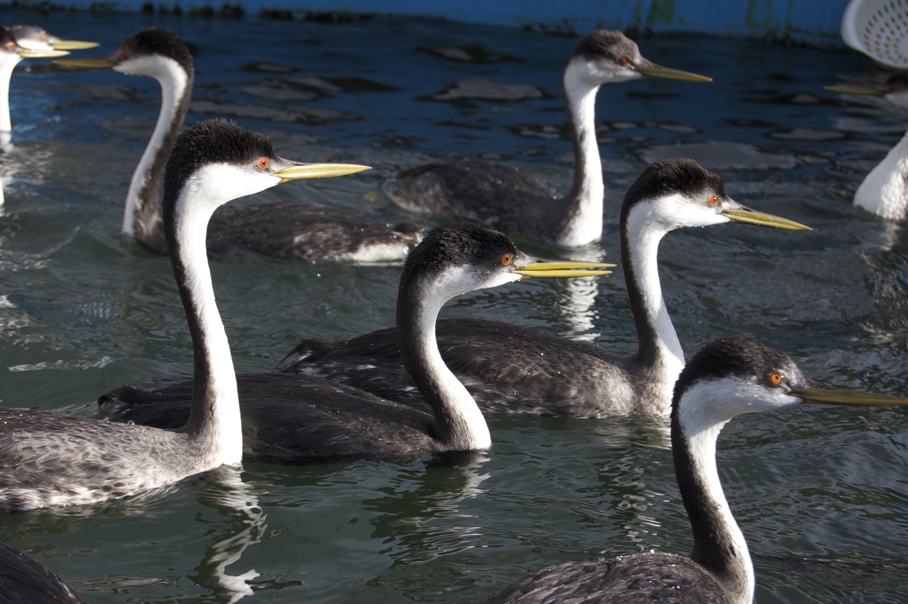 Grebes Autumn 2014 story - 01