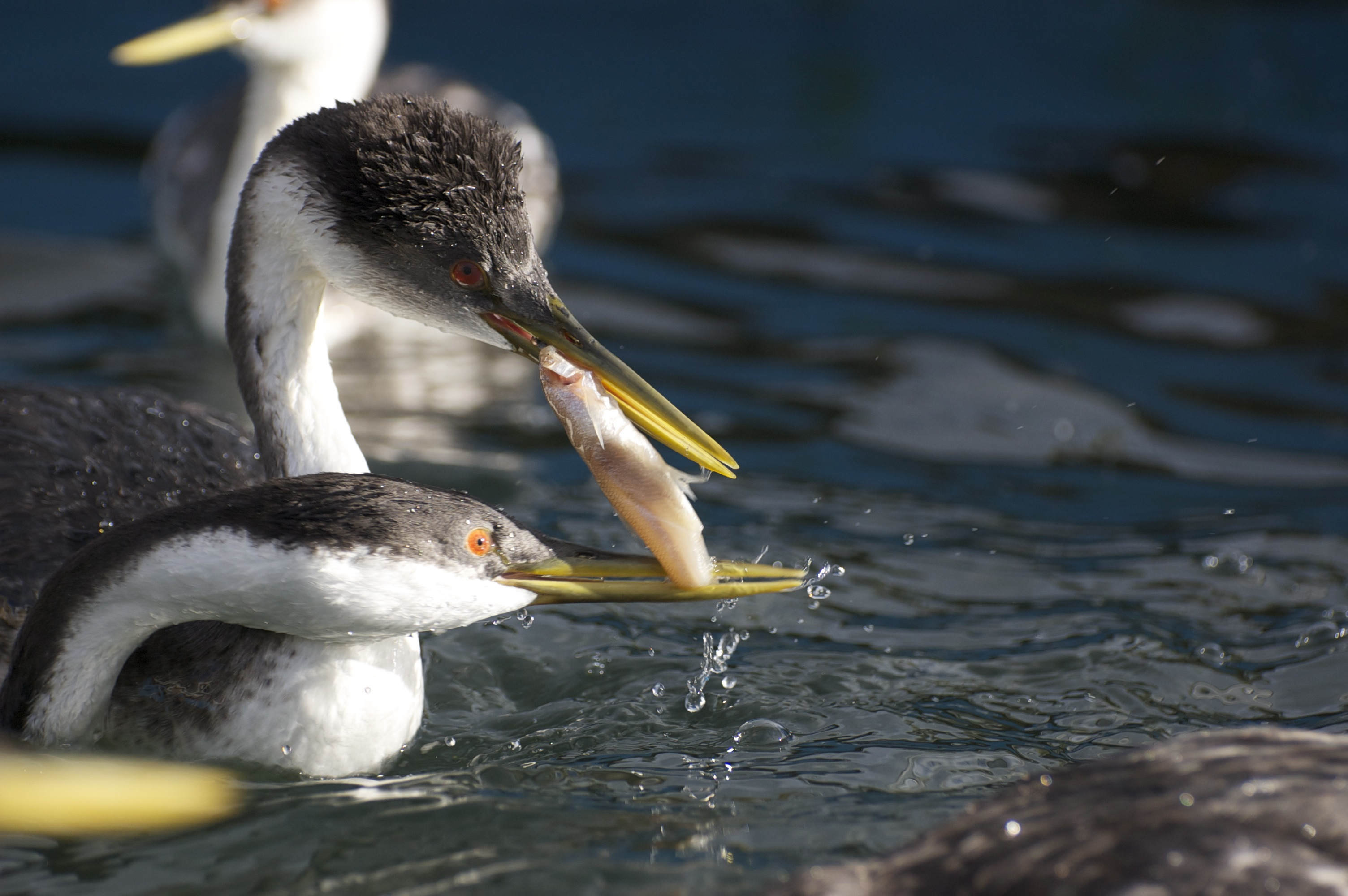Grebes Autumn 2014 story - 08