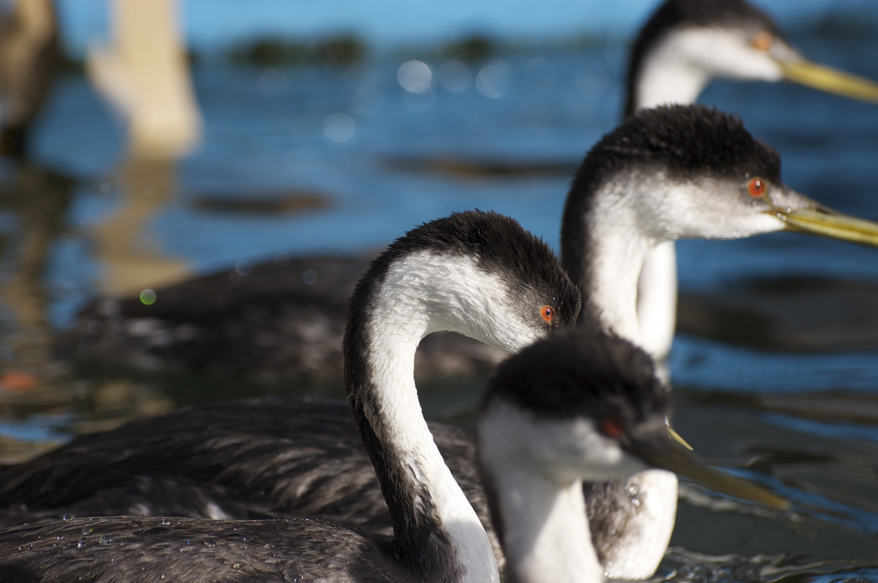 Grebes Autumn 2014 story - 11