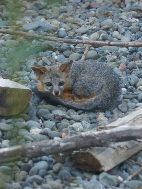 rescued Gray Fox in care