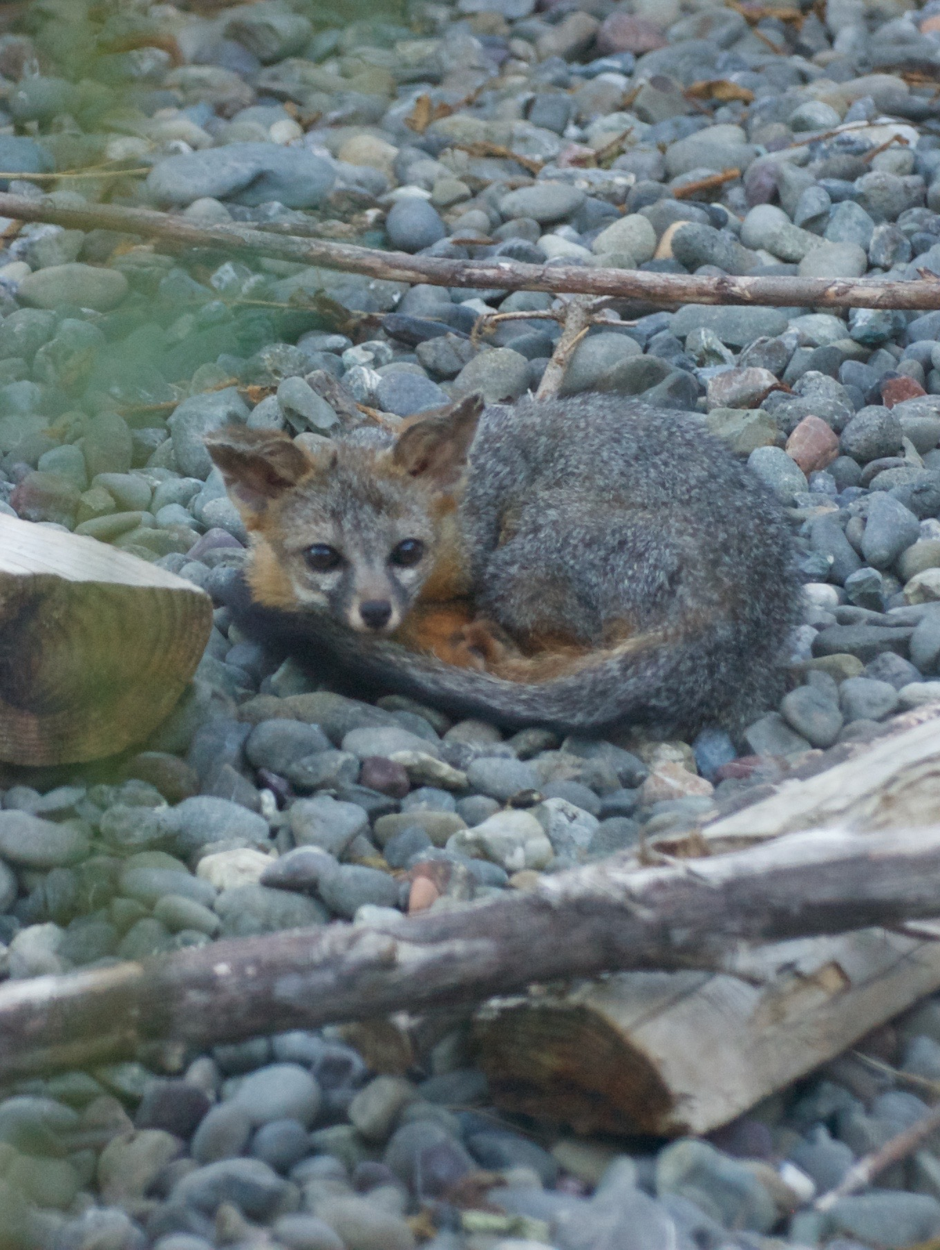A Gray Fox recovers in care.