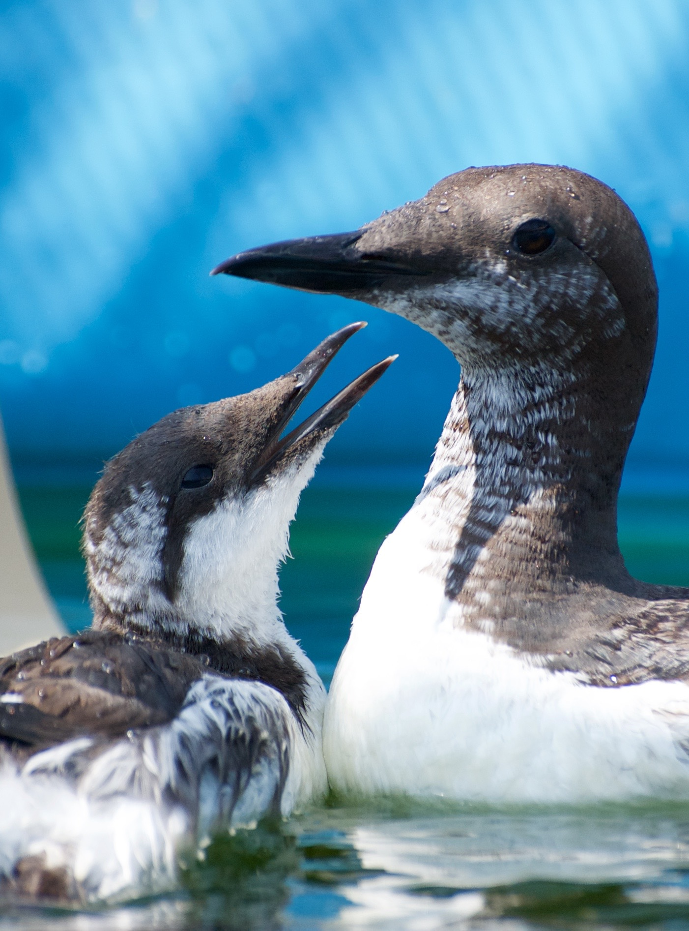 Your gift helps turn lives around - this orphan Common Murre formed a bond with an adult patient, as both recovered in our seabird pool.