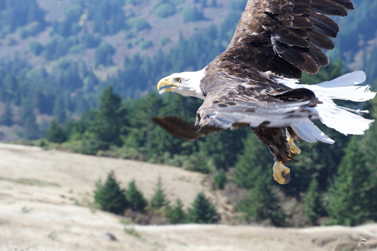 Bald Eagle, Lead Poisoning, and the legacy of Industrial Civilization.