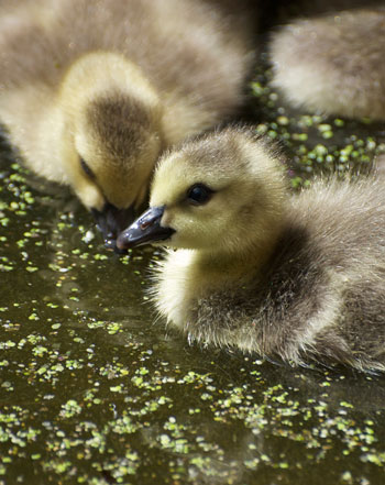 golden baby goslings in a pool of duckweed