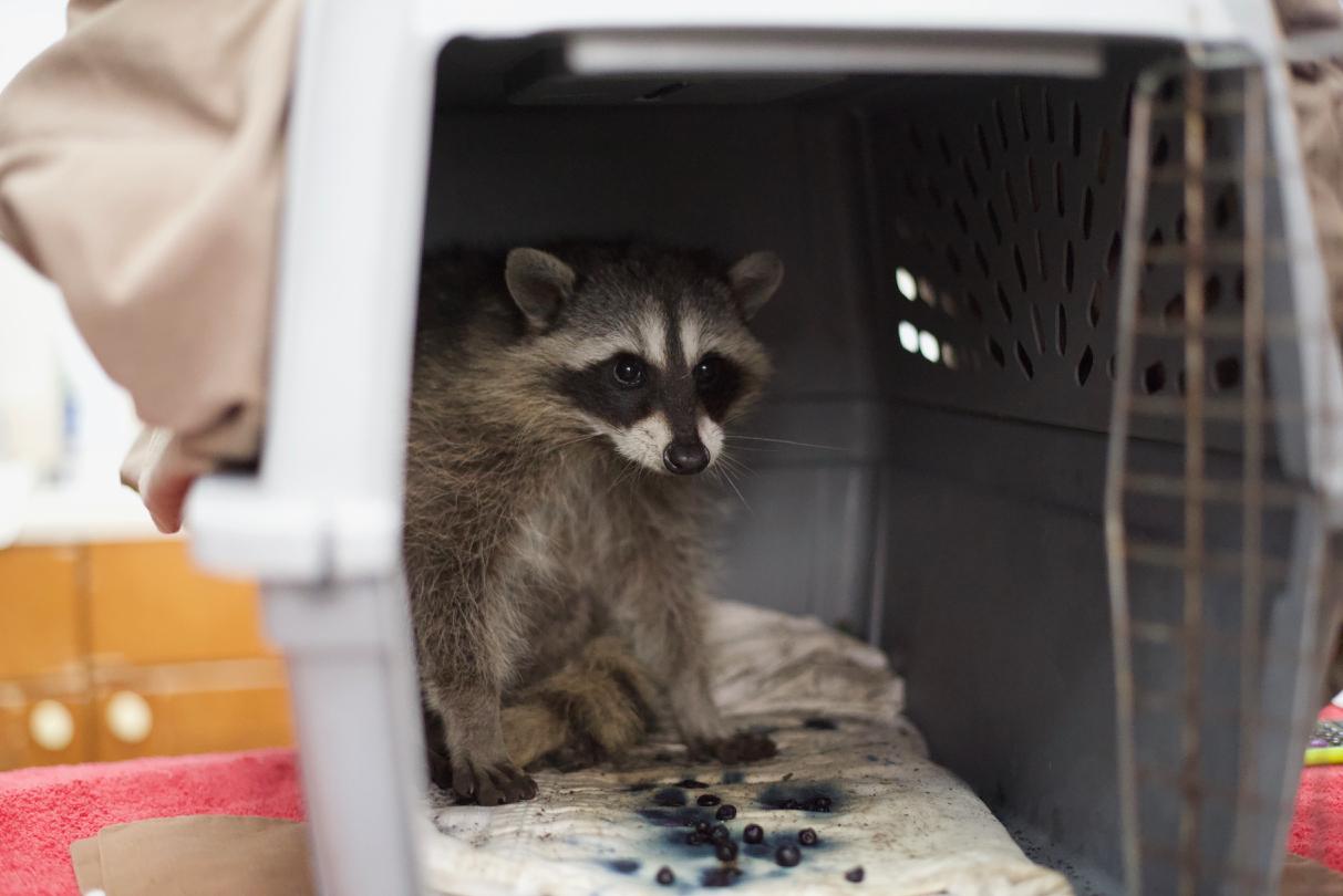 raccoons – Bird Ally X
